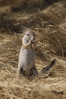 Free Ground Squirrel In Namibia Royalty Free Stock Photography - 34297197