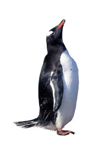 Free Isolated Gentoo Penguin Stock Photo - 34297960