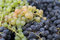 Free Autumn Grapes Stock Images - 34294784