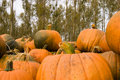 Free Fall (autum) Pumpkins Royalty Free Stock Image - 3431916