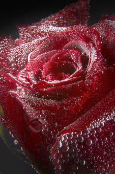 Free Red Rose Under Water Stock Photos - 3430433