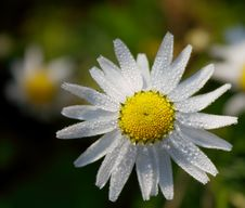 Morning Chamomile Royalty Free Stock Images