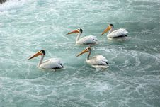 Free White Pelicans In Calgary Stock Photography - 3433072