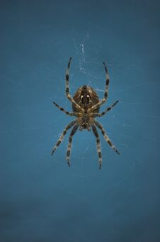 Free Cross Spider Stock Photo - 3433720