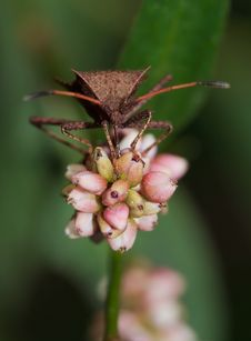 Free Stink Bug On Flower Royalty Free Stock Image - 3437346