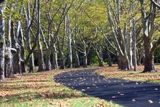Path Lined With Sycamore Trees Royalty Free Stock Photos