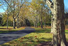 Path Lined With Sycamore Trees Royalty Free Stock Images