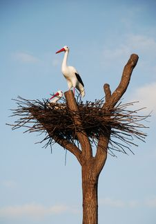 Free Storks In The Nest Stock Photo - 3439750
