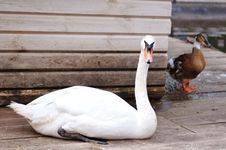 Free White Swan Portrait Royalty Free Stock Image - 34302136