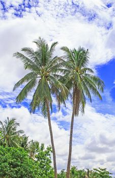 Free Palm Trees With Coconut And Blue Sky. Stock Photo - 34303460