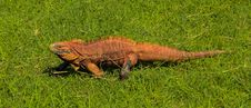 Free Red Reptile Walking On The Grass Stock Photography - 34310532
