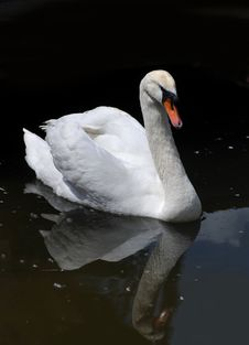 Free White Swan Portrait Royalty Free Stock Image - 34329236
