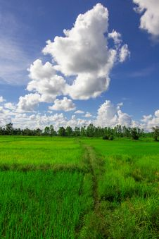 Free Rice Field And Cloud Royalty Free Stock Image - 34347416