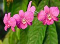 Free Pink Orchid. Royalty Free Stock Images - 34380029