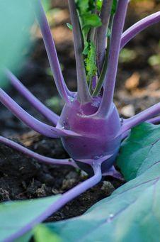Free  Purple Vienna  Kohlrabi Royalty Free Stock Photos - 34382038