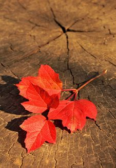 Free Branch With Red Autumn Leaves On A Wooden Background Stock Photo - 34384250
