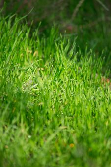 Free Grass Royalty Free Stock Photo - 34384345
