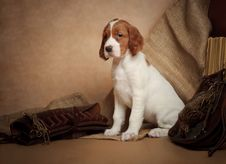 Puppy And Hunting Accessories Stock Image