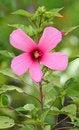 Free Hibiscus Is Flower Stock Photos - 34393473
