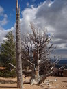 Free Bristlecone Pine Royalty Free Stock Photography - 3442167