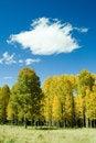 Free Golden Aspens On Mountain Stock Photo - 3445260