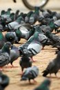 Free Pigeons Royalty Free Stock Image - 3447396