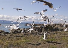 Free Flock Of Seagulls Royalty Free Stock Photography - 3440547