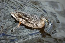 Free Wild Duck Stock Images - 3441764