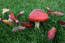 Free Fly Agaric Mushroom Stock Images - 3441924