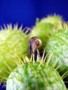 Free Snail On Prickly Plant Royalty Free Stock Photos - 3442478
