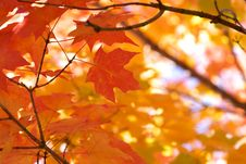Free Red Maple Leaves Royalty Free Stock Images - 3442579