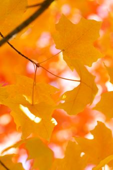 Free Yellow Maple Leaves Stock Images - 3442614