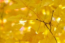 Free Yellow Maple Leaves Stock Photos - 3442623