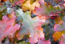 Free Oak Colors Royalty Free Stock Photos - 3442828