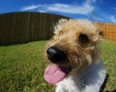 Free Fisheye Terrier Royalty Free Stock Photo - 3444385