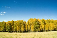 Free Golden Aspens On Mountain Stock Photography - 3445182