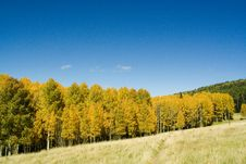 Free Golden Aspens On Mountain Royalty Free Stock Photos - 3445258