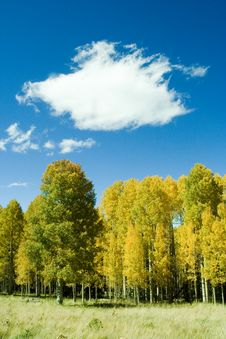 Free Golden Aspens On Mountain Stock Photo - 3445260