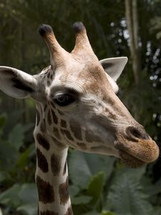 Free Giraffe Stock Photography - 3445342