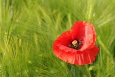 Free Red Poppy On Field Stock Images - 3445344