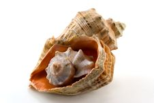 Free Sea Shell Royalty Free Stock Images - 3445409
