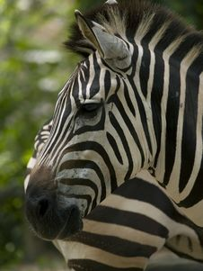 Free Zebra Stock Images - 3445684
