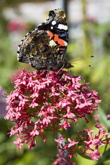 Free Red Admiral Butterfly Close Up Royalty Free Stock Images - 3446689