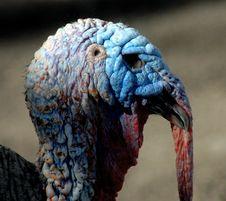 Free Turkey Tom Stock Images - 3446864