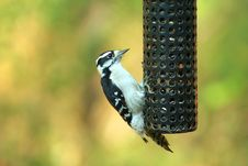 Free Female Downy Woodpecker Stock Photo - 3447030