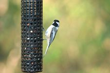 Free Black-capped Chickadee Stock Images - 3447034