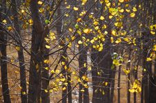 Free Poplar Leaves In Autumn Royalty Free Stock Photo - 3447235