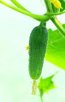 Free Green Cucumber. Royalty Free Stock Image - 3447356