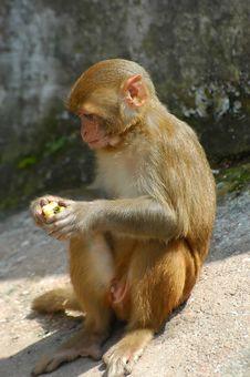 Free Monkey Royalty Free Stock Photos - 3447438