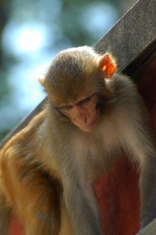 Free Monkey Royalty Free Stock Images - 3447449